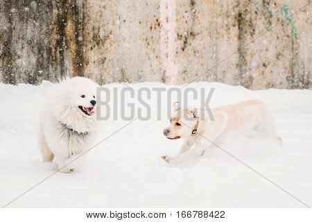 Two Funny Dogs - Labrador Dog And Samoyed Playing And  Running Outdoor In Snow, Winter Season. Playful Pets Outdoors.