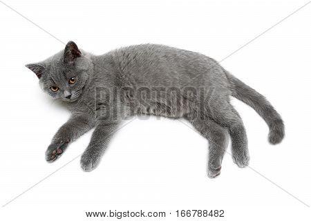cat breed Scottish Straight isolated on a white background. horizontal photo.