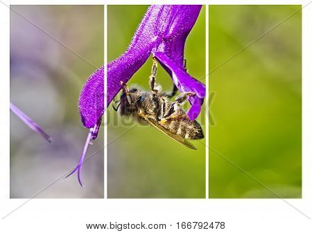 Honeybee collecting nectar on a purple flower in the Botanical Gardens - collage breaking it down into three vertical images