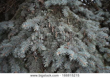 ate fluffy , fluffy pine needles covered in snow and green needles