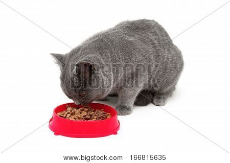 cat eating food from a red bowl. white background - horizontal photo.