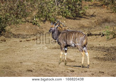 Nyala in Kruger national park, South Africa ;Specie Tragelaphus angasii family of bovidae