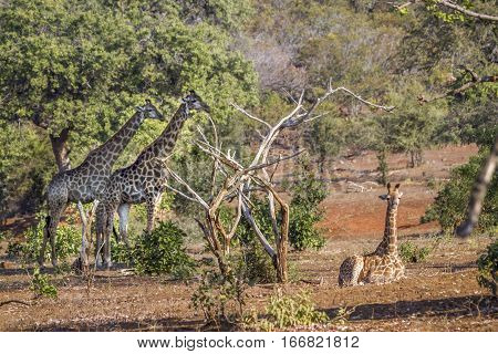 Giraffe in Kruger national park, South Africa ;Specie Giraffa camelopardalis family of Giraffidae