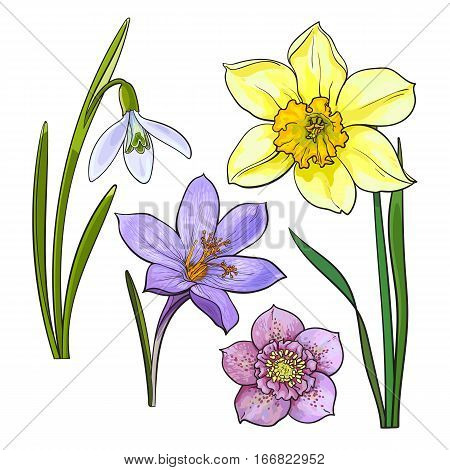 Set of summer flowers, daffodil, snowdrop, crocus, sketch vector illustration isolated on white background. Realistic hand drawing of spring flowers with stems and leaves, daffodil, snowdrop, crocus