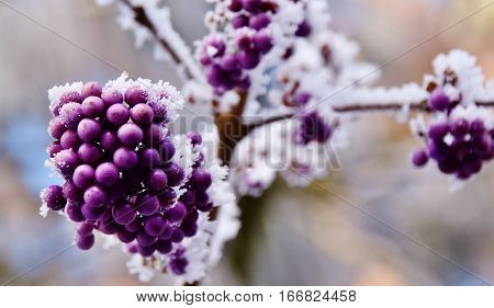 Close up of purple berries on a frosty morning