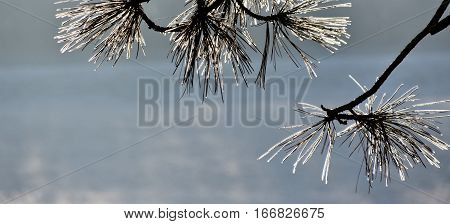 Close up of Pine needles on a ice cold morning