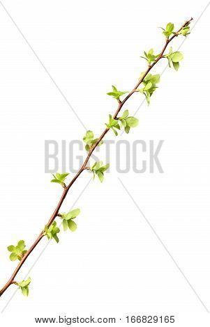 Twig With First Tiny Leaves