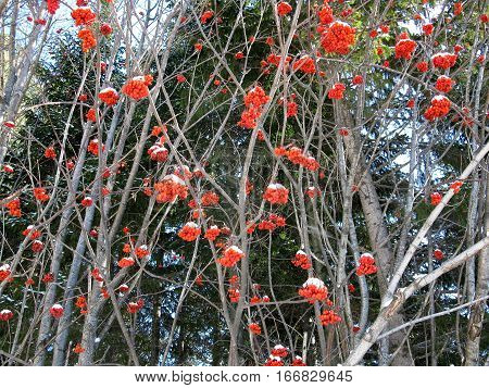 Service Tree And Snowcovered Red Berries