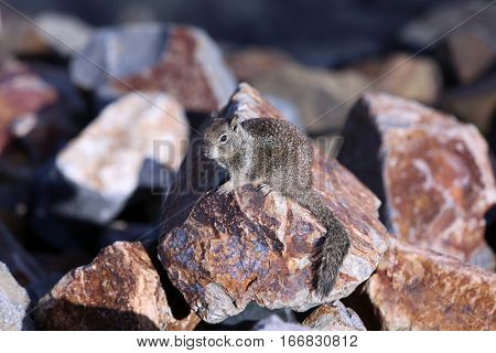 Squirrel. Ground Squirrel