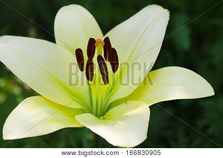 Beautiful white lily growing in the garden