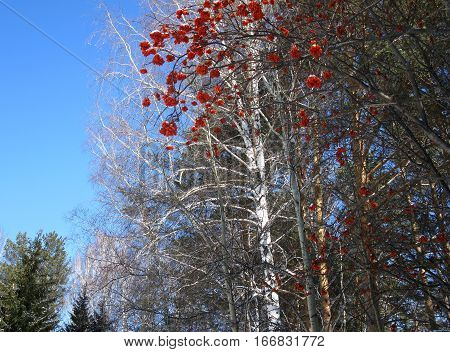Service Tree, Blue Sky,  White Birch And  Red Berries