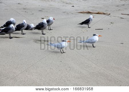 Royal Tern aka Thalasseus maximus