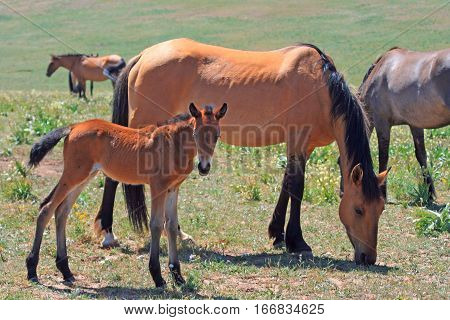 Wild Horse Dun Mare and baby in the Pryor Mountains Wild Horse Range in Montana USA