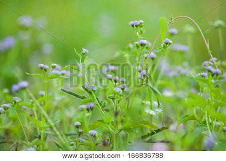 Purple Chives flower alike for blur wallpaper background
