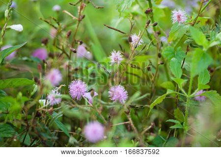 Purple Chives flower alike for blur wallpaper background