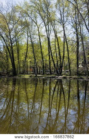 Spring landscape. Row of tall poplars and their reflections in pond water of urban park.