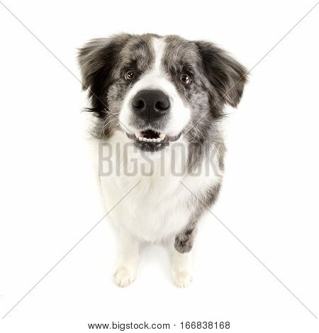 Studio Shot Of A Cute Border Collie Puppy