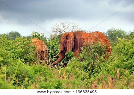 Elephants in Tsavo national park in Kenia