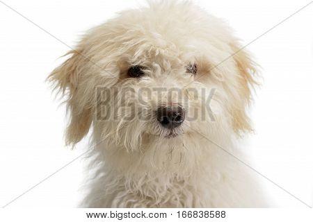 Portrait Of A Cute Tibetan Terrier Puppy