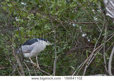 a black-crowned night heron port aransas tx