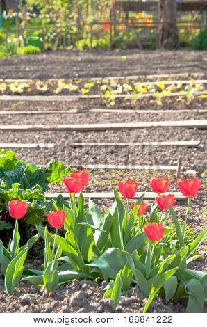 Shining red tulips in an almost bare springtime vegetable garden