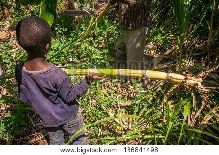 Young boy helping his father in harvesting sugar cane Kenya