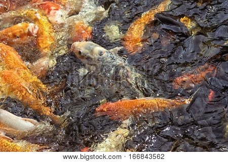 Chinese carp in the water. You can see a lot of fish on the surface of the dark water.
