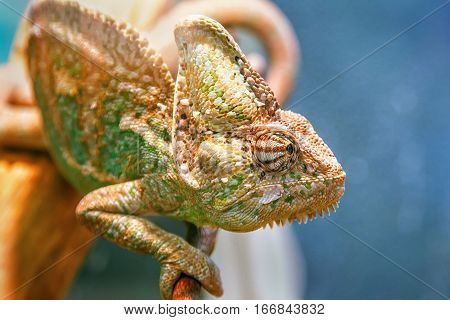 Chameleon sitting on a branch. Visible one eye looking forward.