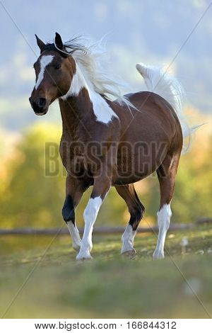 Beautiful Paint Arabian Gelding trotting on meadow