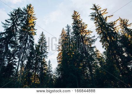 Looking up into the treetops of a pine forest in the carpathians mountain