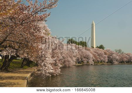 Cherry blossoms in bloom at Washington memorial