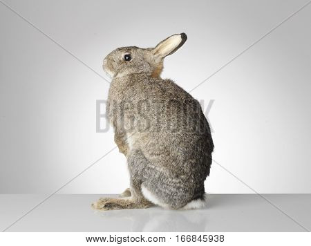Taxidermy Rabbit on grey background and surface