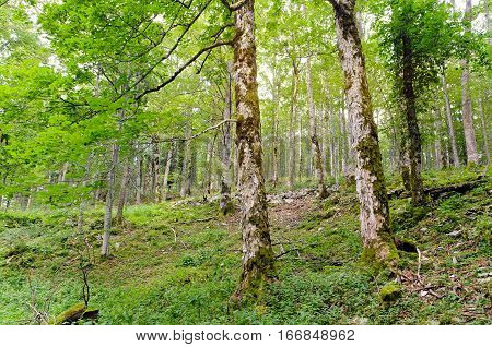An example of Broad-leaved ravine forest (Communities of sycamore maple, European ash, large-leaved lime, small-leaved lime and Norway maple).