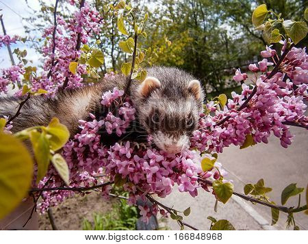gray ferret sitting on a branch of a blossoming tree