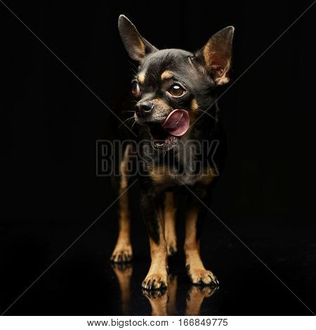 Studio Shot Of An Adorable Short Haired Chihuahua