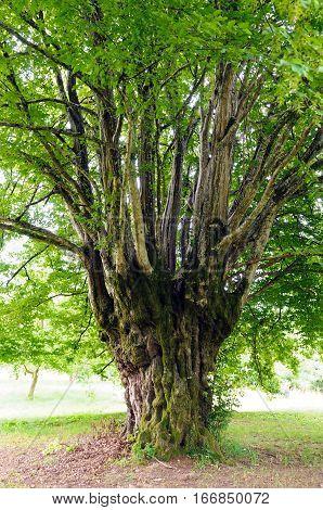 Trunk of an old common hornbeam (Carpinus betulus) tree.