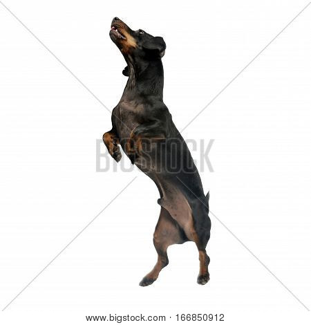 An Adorable Short Haired Dachshund Standing On Two Legs