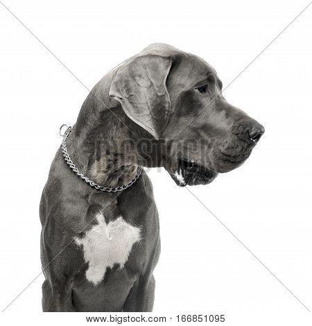 Studio Shot Of An Adorable Great Dane Dog