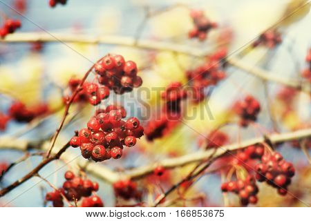 Rowan Tree Red Berries