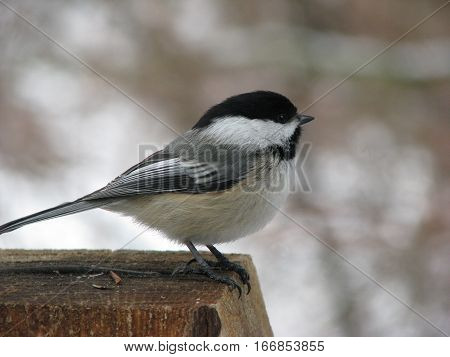 Black-capped Chickadee perched on a post facing right