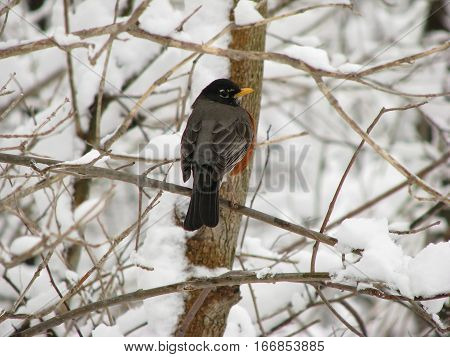 Robin perched on snowy branch in winter