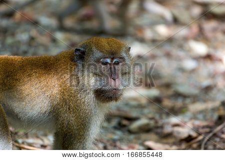 Wild Monkey around Chet Jawa Wetlands at Pulau Ubin Island Singapore