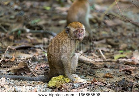 Baby Monkey around the tropical forest of Chet Jawa Wetlands in Pulau Ubin island of Singapore