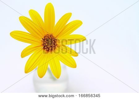 yellow flower isolated on white background with textspace