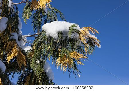 A clump of snow covers a branch with green and yellow pine boughs.