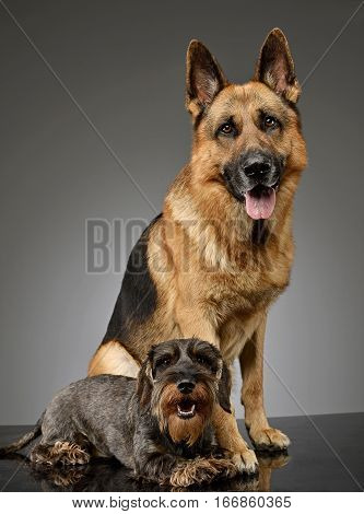 An Adorable Wire Haired Dachshund And A German Shepherd Dog