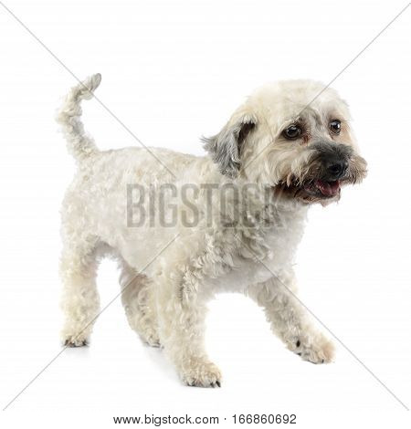 Studio Shot Of An Adorable Havanese Dog