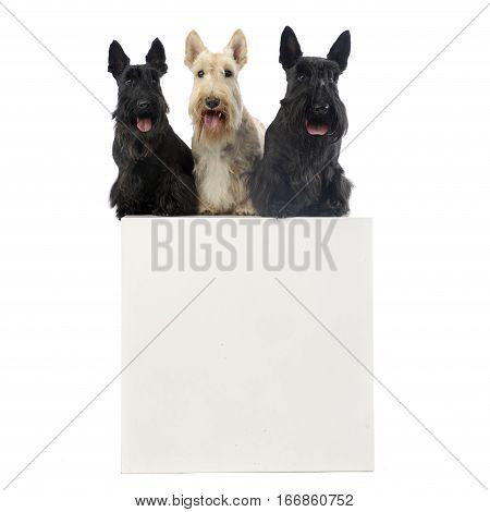 Studio Shot Of Three Adorable Scottish Terrier Sitting On A Box