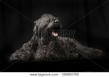 Studio Shot Of An Adorable Black Russian Terrier