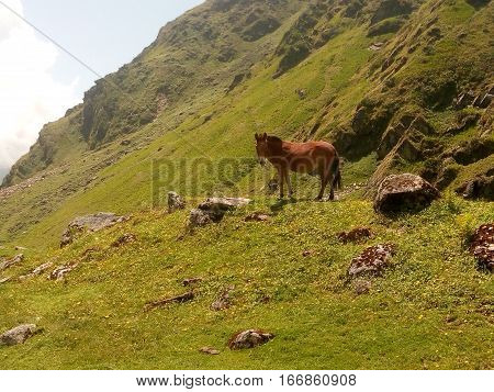 a horse at high altitude looking around having relax mood,